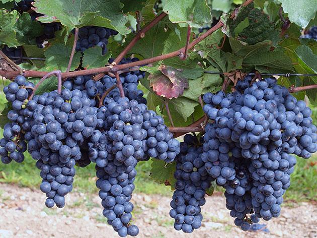 домашнее вино из изабеллы виноград