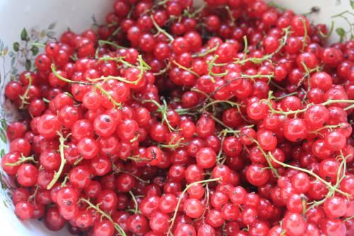ягоды для компота из красной смородины