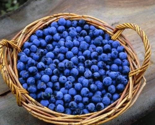 ягоды для тернового вина обработка